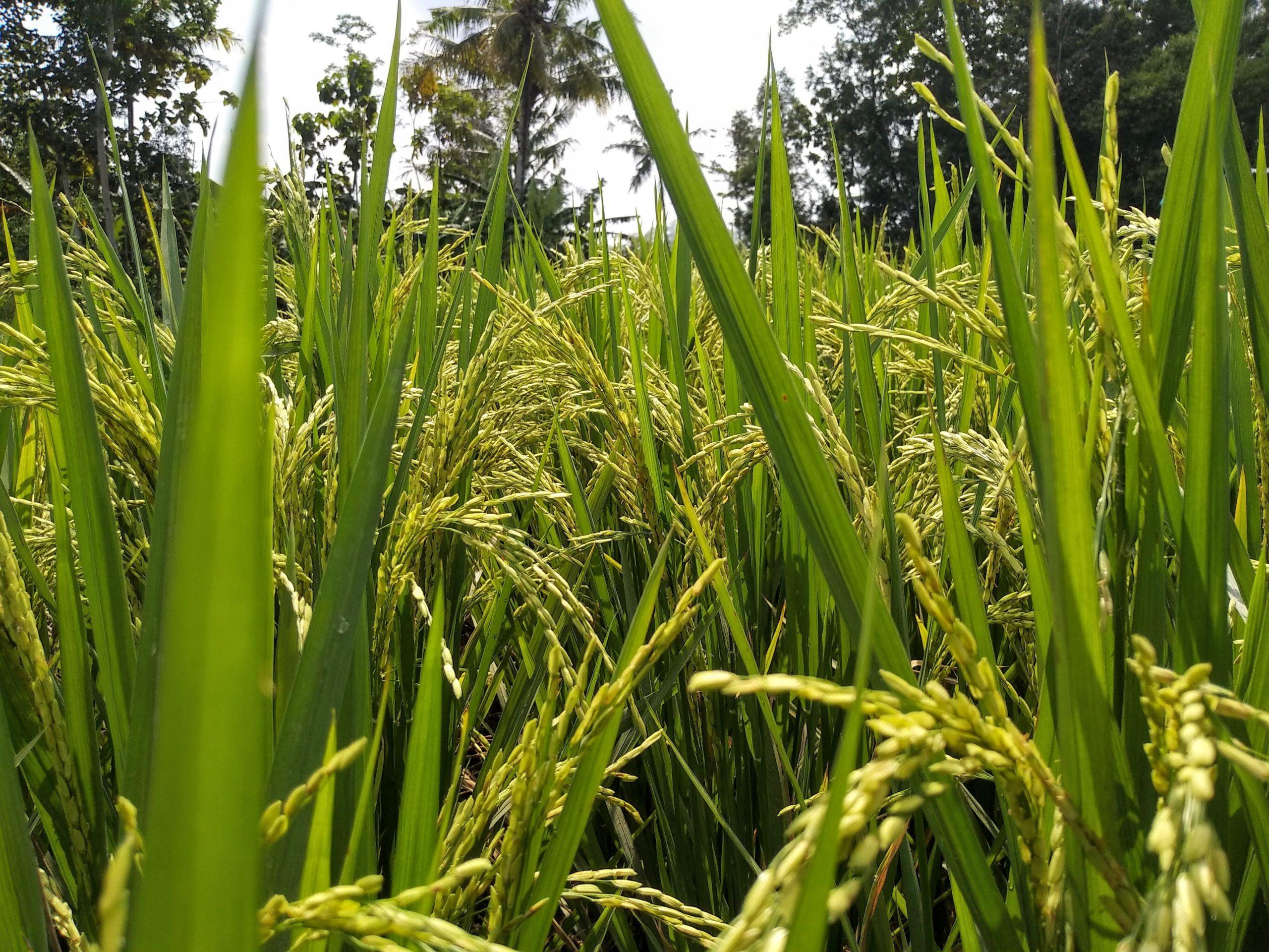 Une équipe de l'Université d'Illinois et de l'IRRI étudie les conditions d'optimisation de la photosynthèse pour augmenter les rendements agricoles