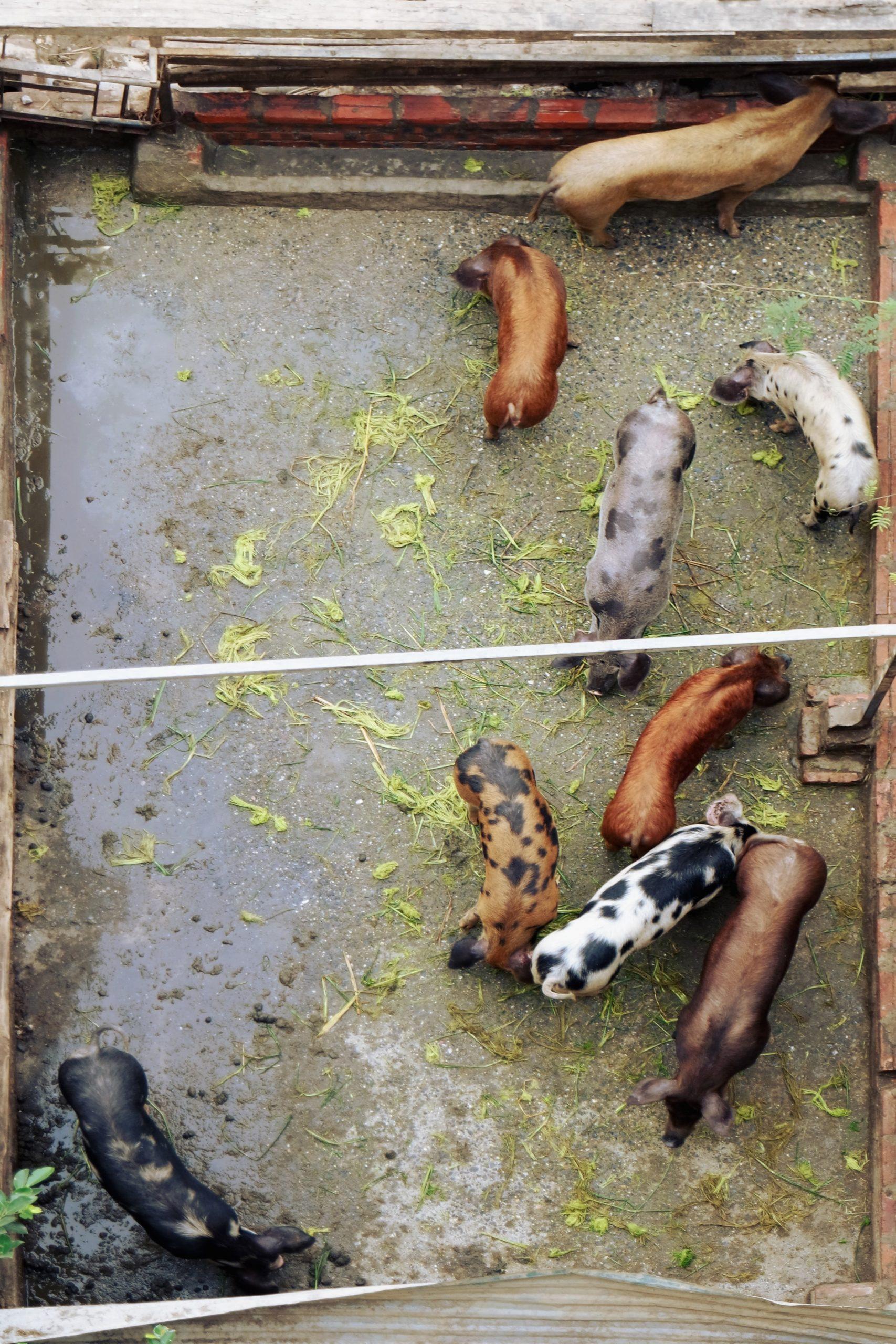 La Fondation pour la Recherche Alimentation et l'Agriculture (FFAR) investit dans le bien-être animal en améliorant l'environnement des élevages de porcs