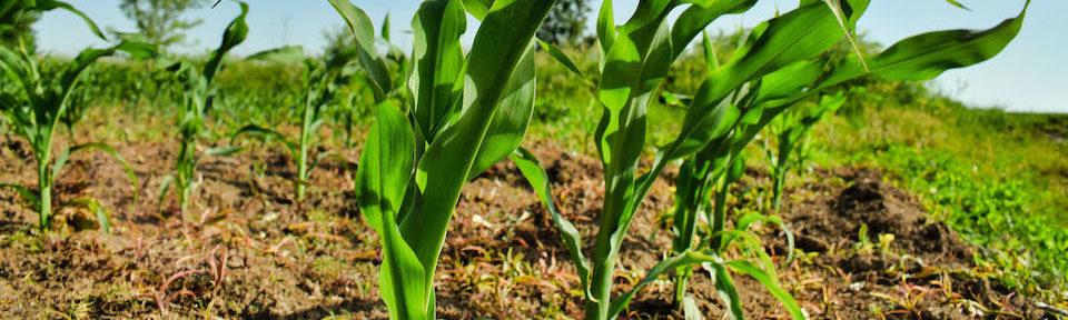 plant-crop-960×288