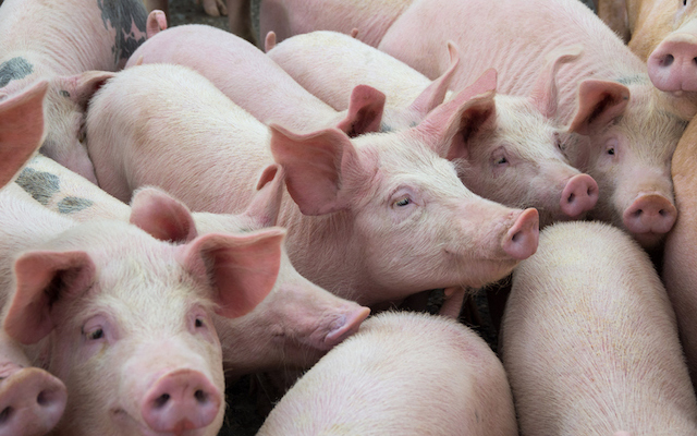 Changement de paradigme dans l'industrie porcine