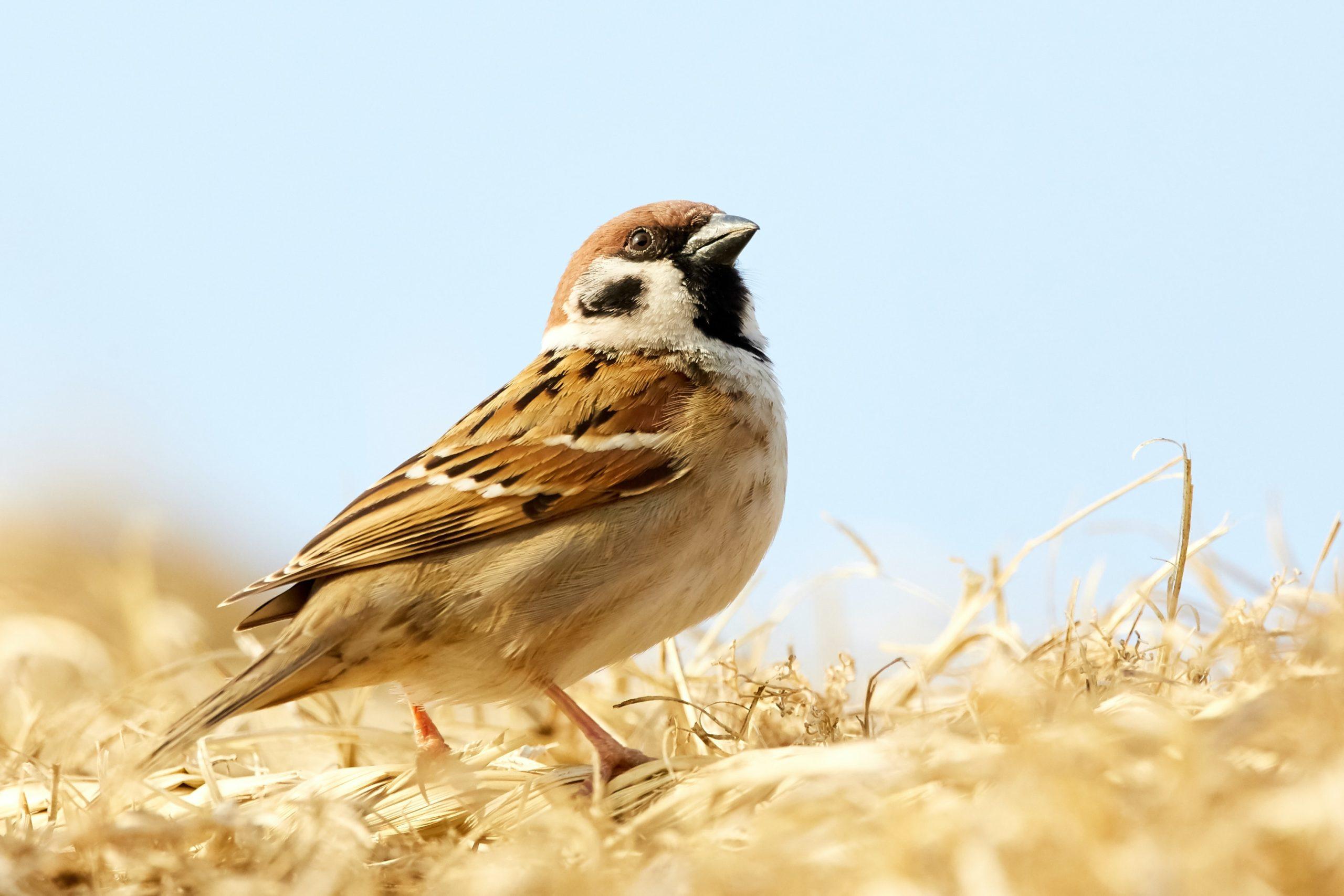 Oiseau des champs