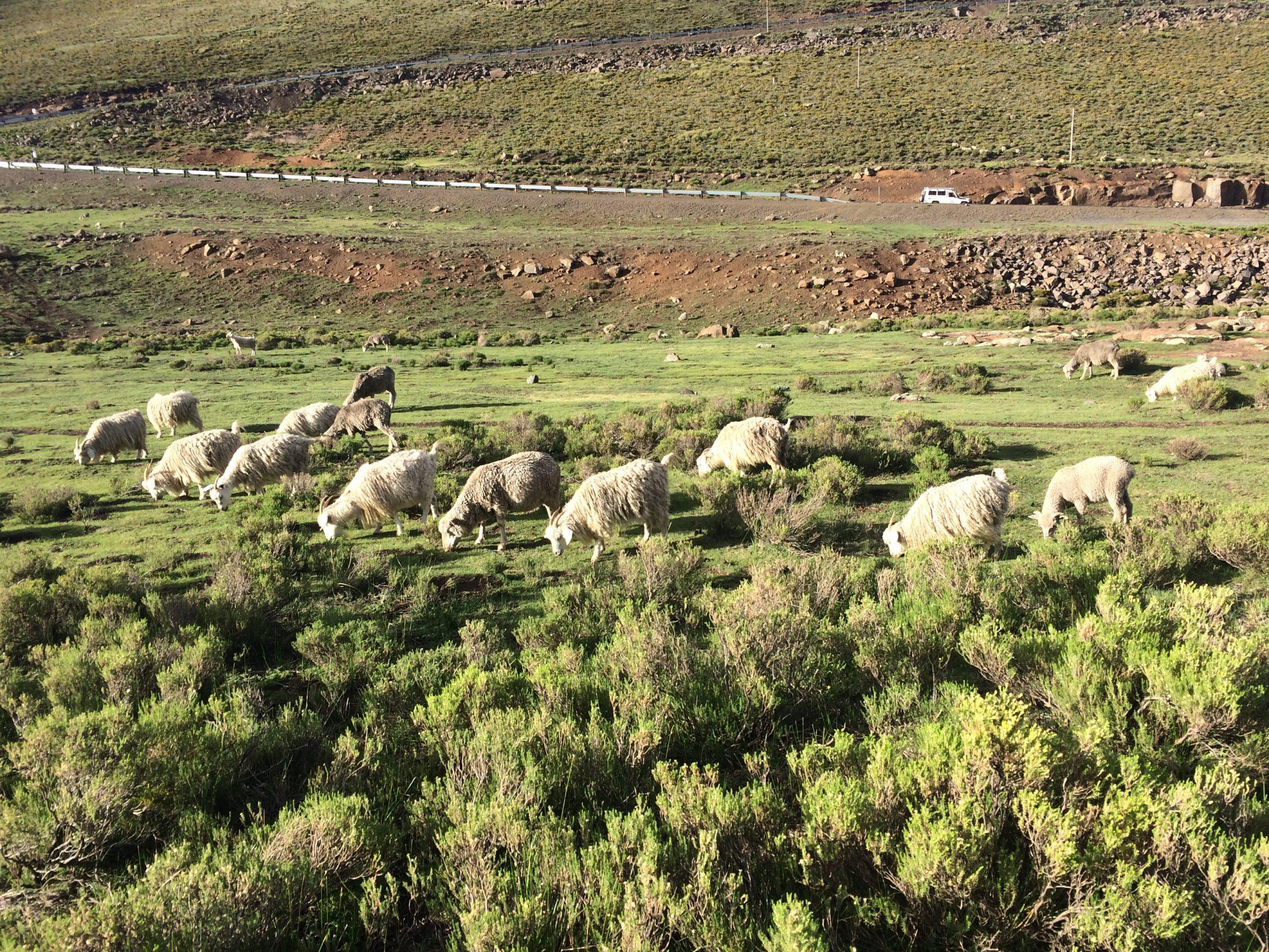 Une collaboration scientifique menée sur l'élevage du bétail face au changement climatique